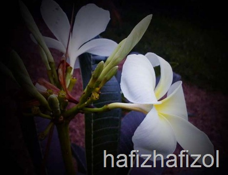 bunga kemboja