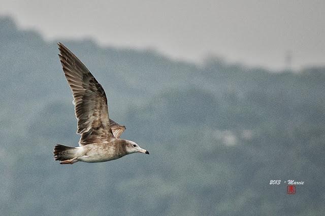 新北 金山 鳥類拍攝