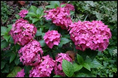 hydrangea-genetic-pink-500x332