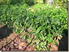 jalapeno crop