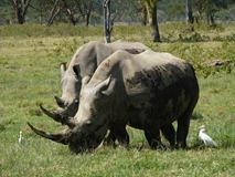 F Rhino