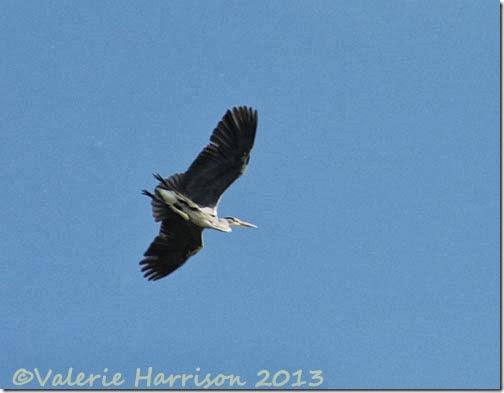 16-heron
