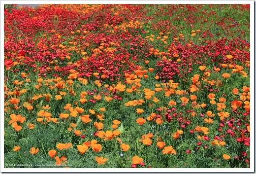 140414_SoDavis_wildflower_meadow_012