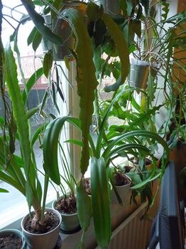 014 korr Epiphyllum Hippeastrum Hoya Daniel Grankvist
