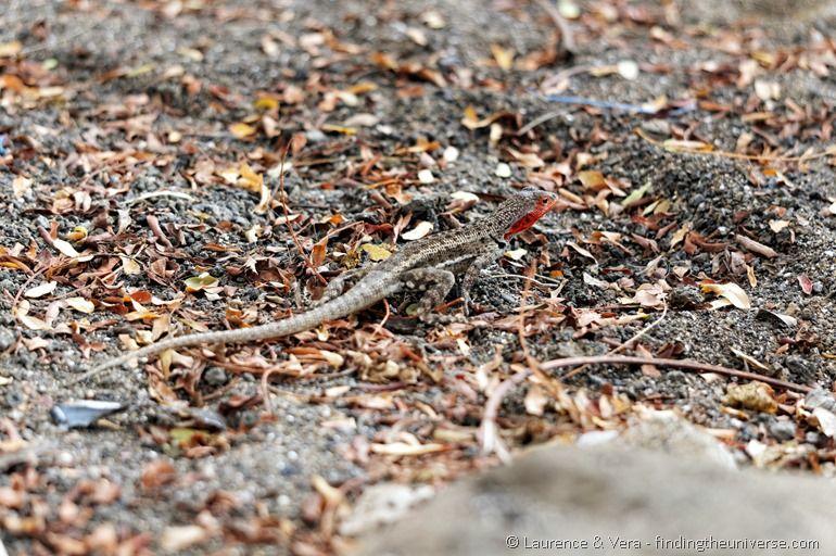 Eidechse Galapagos