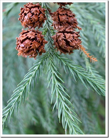 120317_Capitol_Park_Cryptomeria-japonica_03