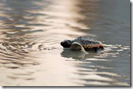 turtle hatchling at sunset