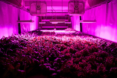 A vertical farm in a form Chicago meatpacking plant. Rachel Swenie / The Plant