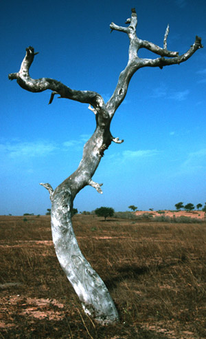 A dead ironwood tree (Prosopis africana) in Senegal, West Africa, is one of many trees that have died due to climate change. Patrick Gonzalez