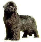 terranova-perro