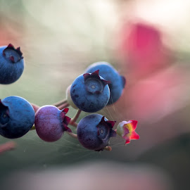 Helios Blueberry Bokeh by Simon Forster - Nature Up Close Gardens & Produce (  )