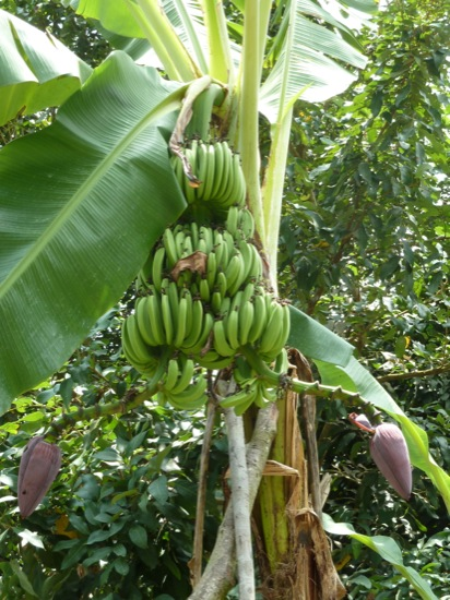 Bananas - we were told that this was quite a rare banana as it had two flowers