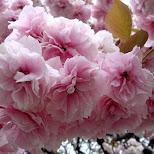 sakura in Tokyo, Tokyo, Japan