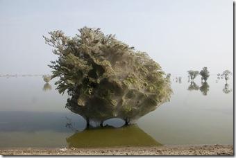 copac -panza paianjen