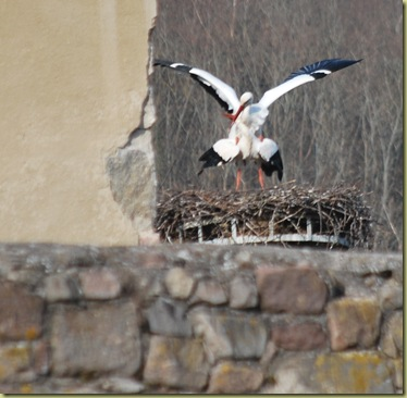 S DSC_0169 Storks mating