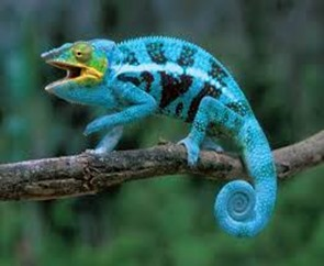 Amazing Pictures of Animals, photo, Nature, Exotic, Funny, Incredibel, Zoo, Panther chameleon, Furcifer pardalis, Reptilia, Alex (3)