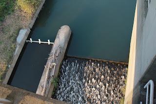 右岸の魚道とゲート(?)を望む