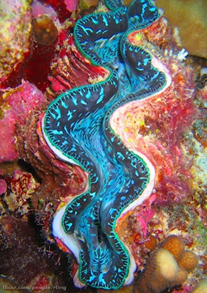 Amazing Pictures of Animals, Photo, Nature, Incredibel, Funny, Zoo, Fluted giant clam, Tridacna squamosascaly clam, Alex (17)