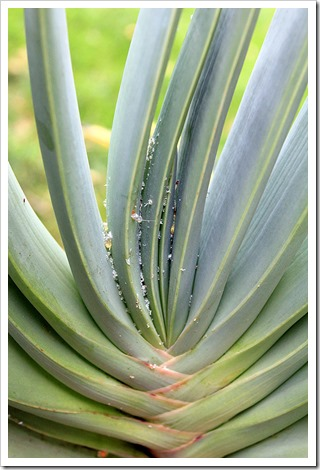130820_Aloe-plicatilis_01