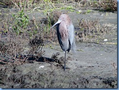 6227 Texas, South Padre Island - Birding and Nature Center guided bird walk - Reddish Egret (rufous form)