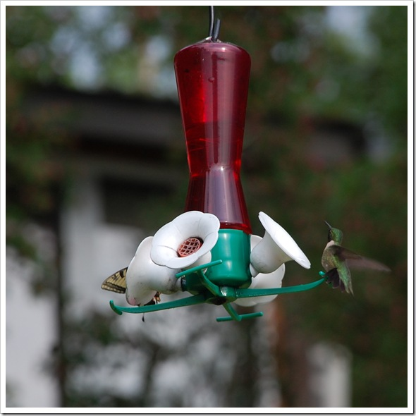 Hummingbird 6