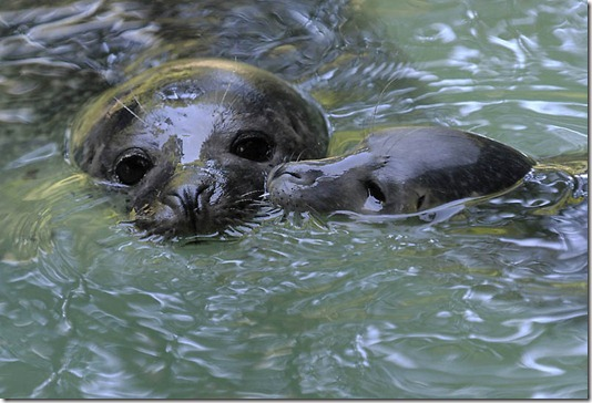 GERMANY-ANIMALS-SEALS