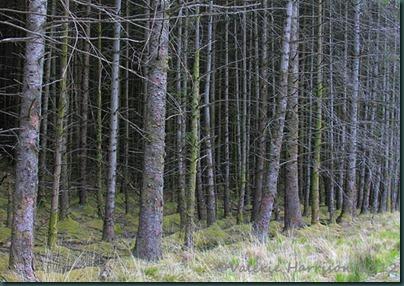 45-conifers