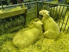 2015.02.26-052 mouton berrichon de l'Indre