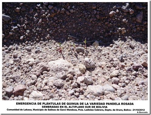 EMERGENCIA DE PLÁNTULAS DE QUINUA-Lakasa, Oruro-A.Quezada_laquinua.blogspot.com