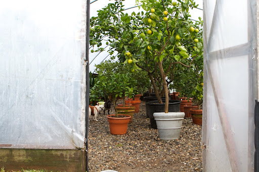 It's good to see that all of the citrus trees are neatly lined up and have a lot of room to grow.  Check out the size of those lemons at the entrance.  I think they are Ponderosa lemons, which are thought to be a hybrid of a lemon and a citron.