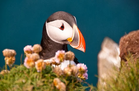 Amazing Pictures of Animals, Photo, Nature, Incredibel, Funny, Zoo, Puffins, Bird, Aves, Alex (16)