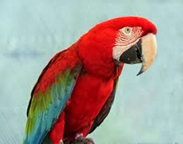 Amazing Pictures of Animals, Photo, Nature, Incredibel, Funny, Zoo, Red-and-green Macaw, ara chloropterus, Bird,  Alex.  (15)