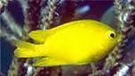 Nouvelle-Calédonie demoiselle des Moluques