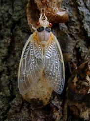 Cicada wings flat