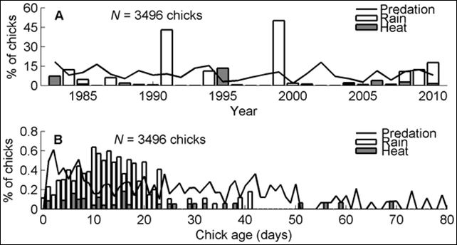 (A) Percentages of chicks by year. Predation (solid line) killed chicks in all years; rain (white bars), and heat (gray bars) killed chicks in some years and were sometimes important causes of death. N = 28 years, 3496 chicks. Percentages do not sum to 100 because other causes of death are not shown. (B) By chick age (days). The number of chicks that died from predation (solid line), rain (white bars), and heat (gray bars) divided by the total number of chicks that reached each age. Each chick was counted in each age until that chick died or disappeared. The sample size decreases with age: for 0 days of age, N = 3496 chicks; for 80 days of age, N = 625 chicks. Graphic: Boersma, et al., 2014. / doi:10.1371/journal.pone.0085602.g002