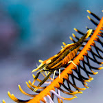 Shrimp in feather sea star