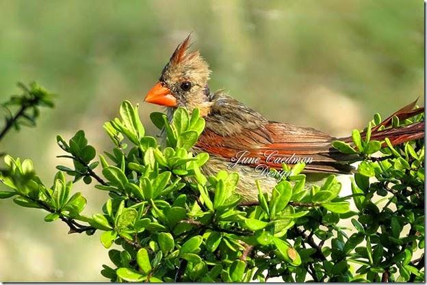 Cardinal_Bathing3