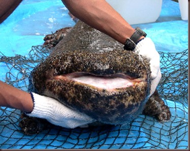 Amazing Animals Pictures Chinese Giant Salamander (3)