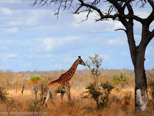 animais national geographic desbaratinando  (17)