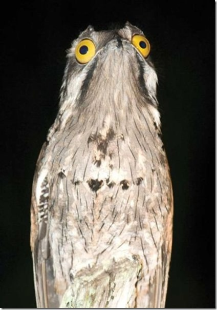 potoo-birds-eyes-1