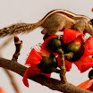 Indian Palm Squirrel-jpeg.jpg