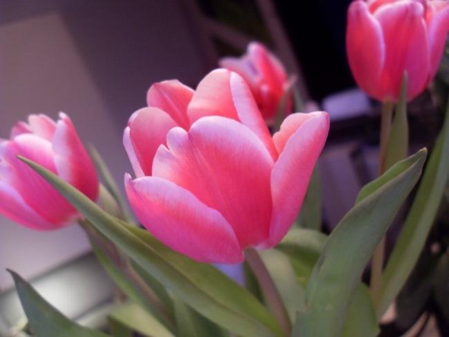 Tulipaner på mit spisebord