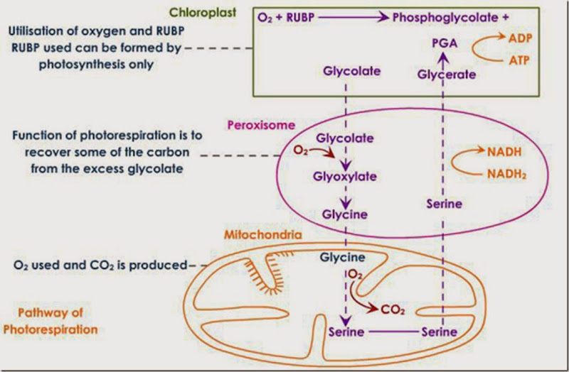 photorespiration pathway