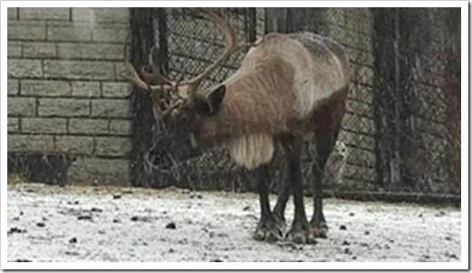 apl-reindeer-thumbnail-snow