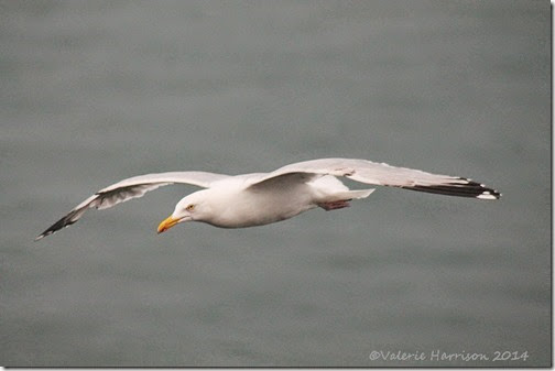 11 gull-in-flight