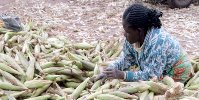A woman harvests maize in Kenya. If the world is to grow enough food for the projected global population in 2050, agricultural productivity will have to rise by at least 60 percent, and may need to more than double, according to researchers Deepak Ray and Jon Foley, who have studied global crop yields. Photo: Reuters