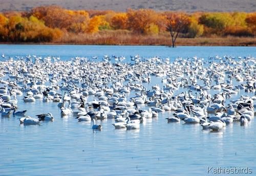 4. snow geese-kab