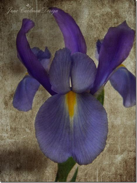 Iris_Love