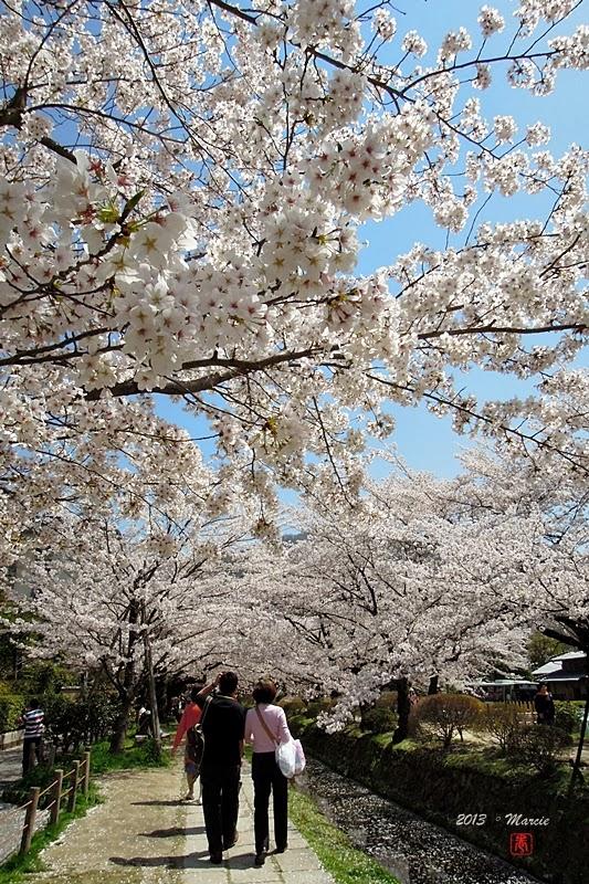 京都白川疏水櫻花