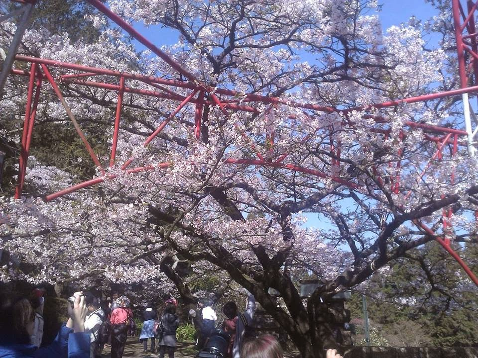 Alishan Sakura Season